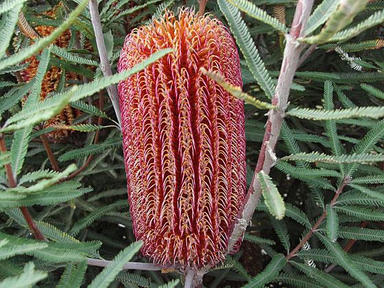 banksia brownii mountain shrub form