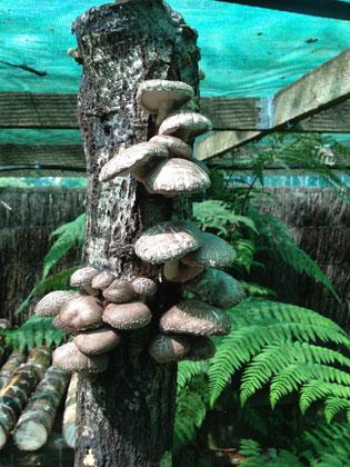 fruiting log