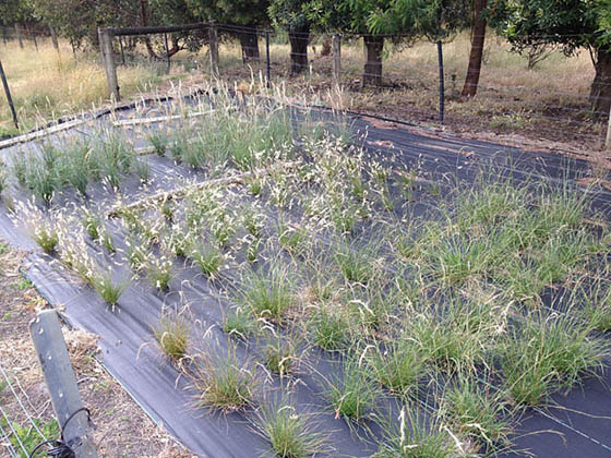 Wallaby grass seed production